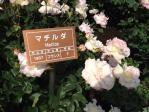 神代植物公園の薔薇(マチルダ)