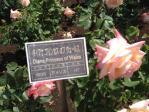神代植物公園の薔薇(ダイアナ プリンセス オブ ウェールズ)