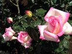 神代植物公園の薔薇(プリンセス・ドゥ・モナコ)