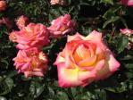 神代植物公園の薔薇(朝霧)