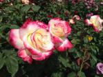 神代植物公園の薔薇(ダブル・ディライト)