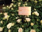 神代植物公園の薔薇(エメラルド・アイル)