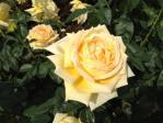 神代植物公園の薔薇(天津乙女)