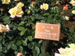 神代植物公園の薔薇(ピース)