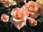 神代植物公園の薔薇(シルバ)