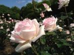 神代植物公園の薔薇(ロイヤル・ハイネス)