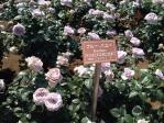 神代植物公園の薔薇(ブルーバユー)