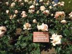神代植物公園の薔薇(バニラ・パフューム)