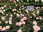 神代植物公園の薔薇(ピエールドゥロンサール)