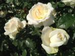 神代植物公園の薔薇(チャイコフスキー)