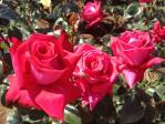 神代植物公園の薔薇(レッド・デビル)