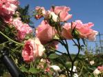 神代植物公園の薔薇