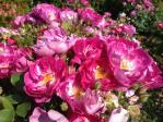 新宿御苑の薔薇(インターナショナル ヘラルド トリビューン)