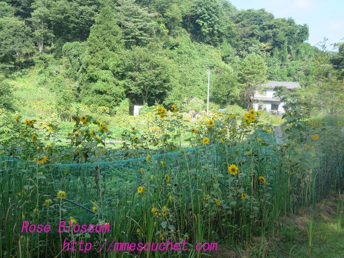 himawari20130817.jpg