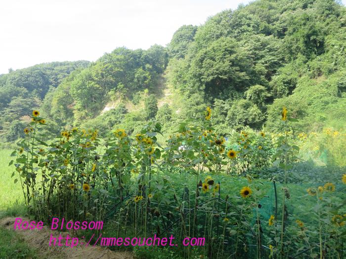 himawari201308171.jpg