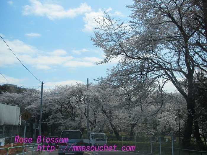sakurakinuta201300327.jpg