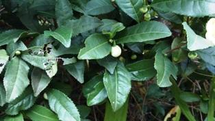 10月1日お茶の花