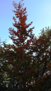 13,10,28,夏椿の紅葉