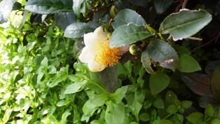 10,31茶の花