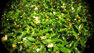 20140929お茶の花