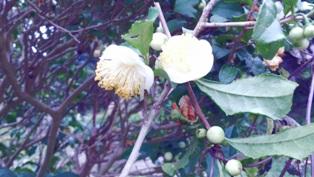 20141013茶の花
