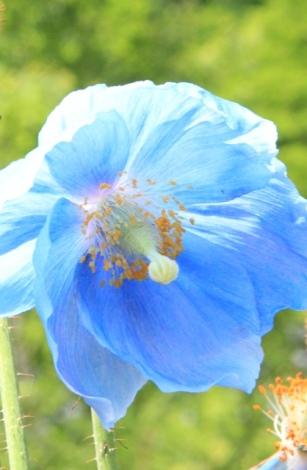 BluePopyfc.jpg