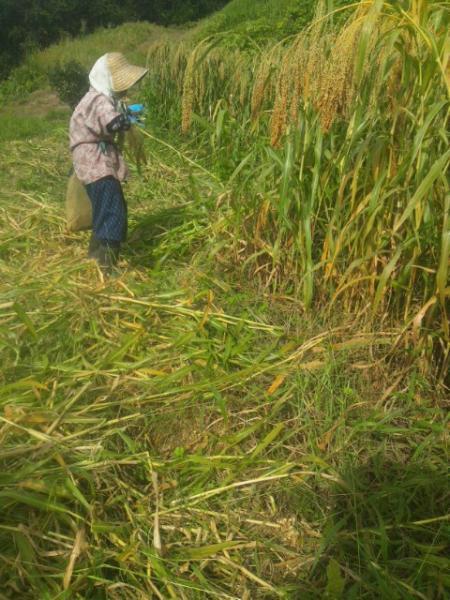 140913_きびの収穫
