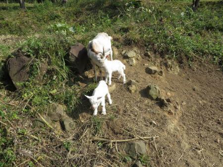 ヤギ誕生2