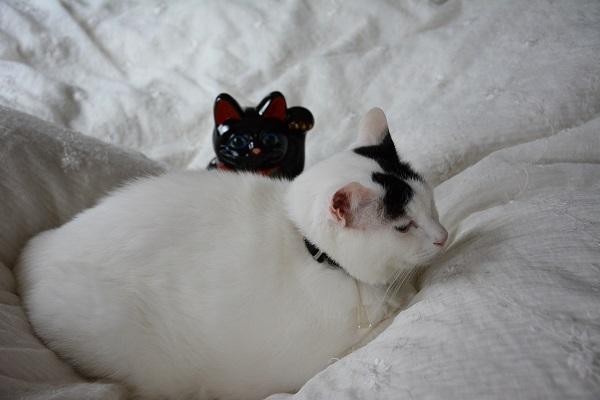 巣篭り状態の白猫と左手あげて猫を呼んでる黒猫_Kotechai_6912s