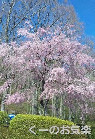 2富士霊園桜