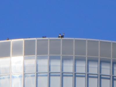 電通ビルの屋上で鷹匠とオオタカ