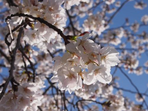 20130326桜1