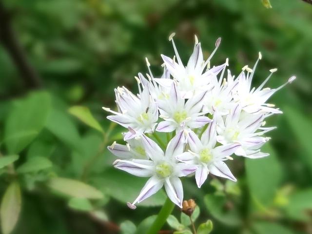 白い小花_20130527