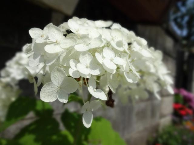 白い紫陽花_20130630