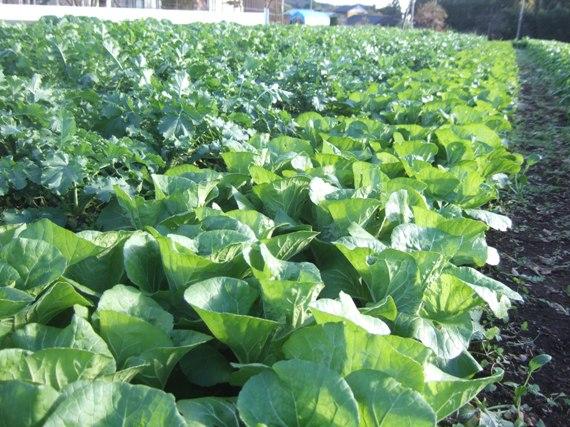 20131112ミニ白菜