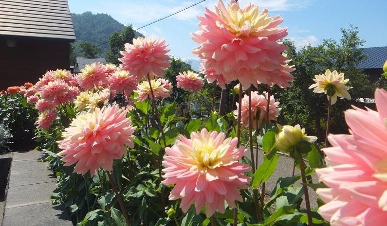 pink@支笏湖
