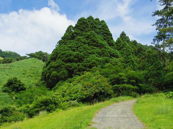 高森殿の杉4