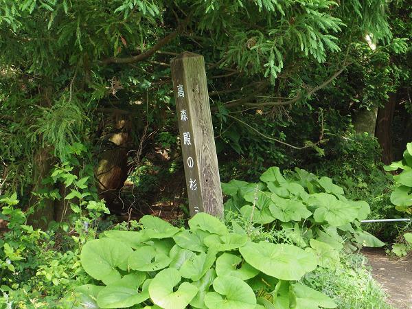 高森殿の杉5