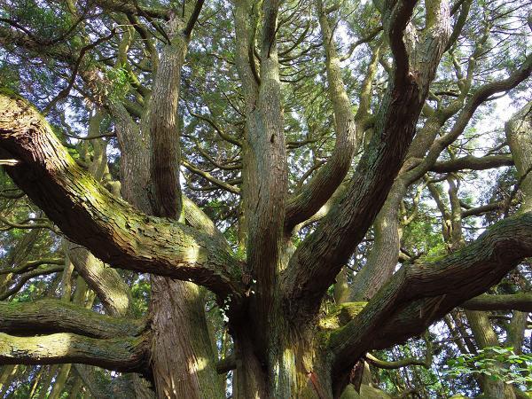 高森殿の杉10