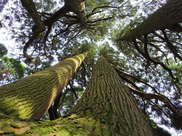 高森殿の杉8