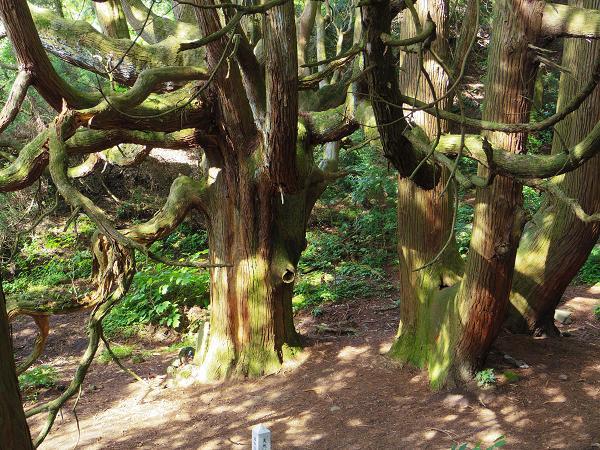 高森殿の杉6