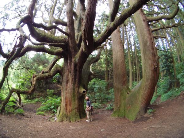 高森殿の杉11