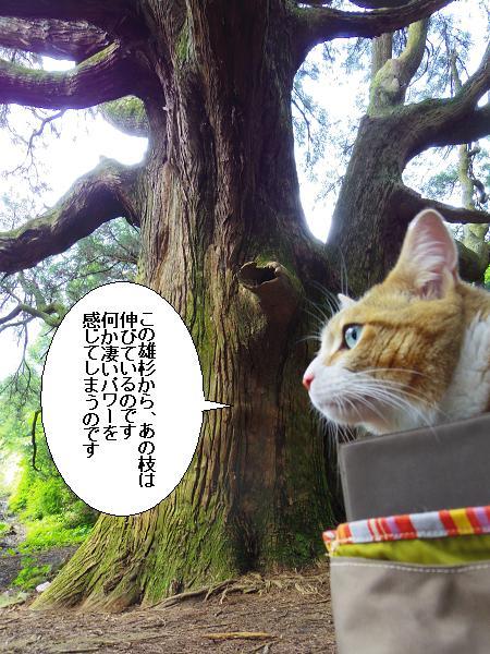 高森どんの杉17