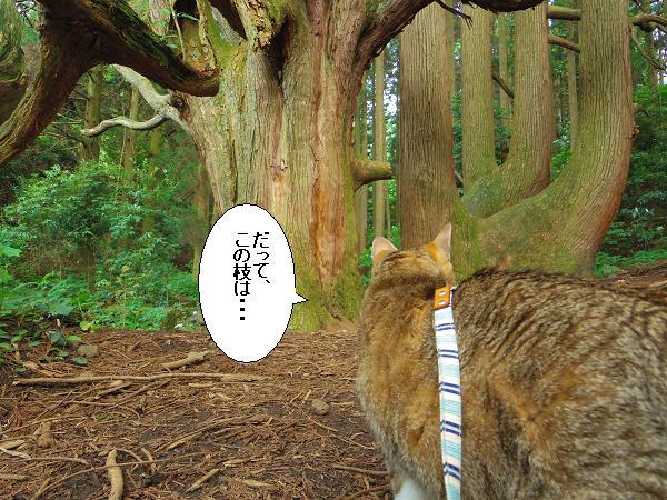 高森どんの杉21