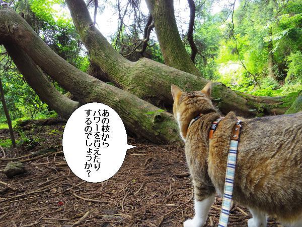 高森どんの杉20