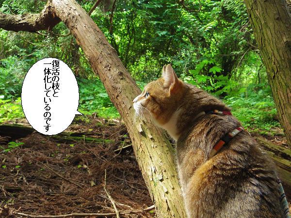 高森どんの杉25