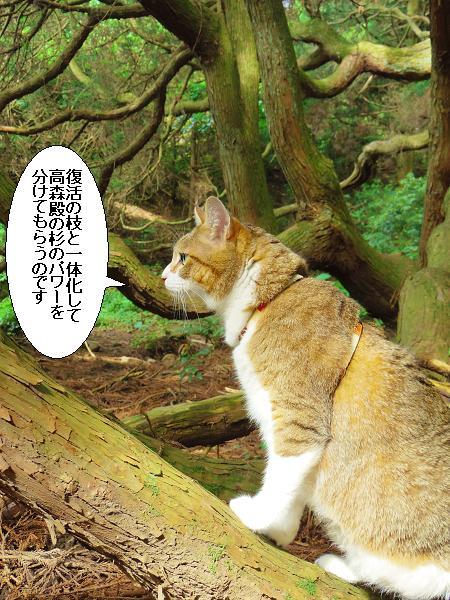 高森どんの杉26