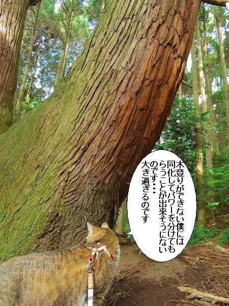 高森どんの杉31