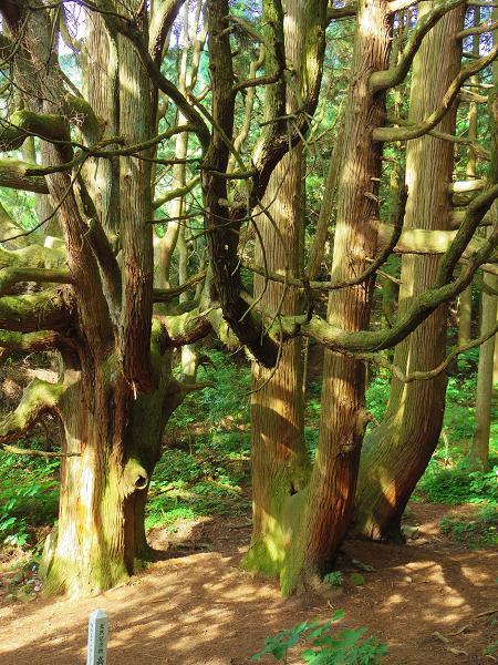 高森どんの杉36
