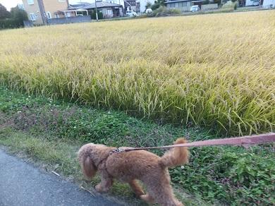 稲は黄金色